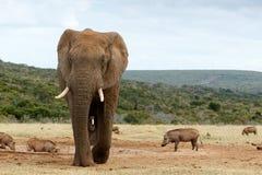 Komma för afrikanBush elefant som är mer nära och som är mer nära Fotografering för Bildbyråer