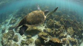 Komma för sköldpadda för grönt hav undervattens- upp för luft arkivfilmer