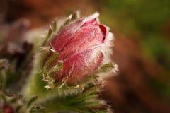 Komma in i blomningen Royaltyfria Foton
