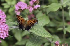 KommaAnglewing fjäril fotografering för bildbyråer