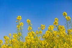 06 12 2011 kommande blommor för colza houses leidschendam som göras den nederländska bilden för att placera var Arkivbild