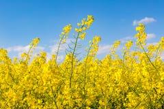 06 12 2011 kommande blommor för colza houses leidschendam som göras den nederländska bilden för att placera var Arkivfoton