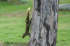 Kommande down för brun variabel ekorre från träd Royaltyfria Foton