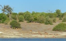 Kommande down för impala till floden som ska drickas Royaltyfria Foton