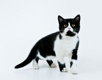 kommande kattunge Fotografering för Bildbyråer