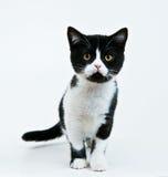 kommande kattunge Royaltyfri Foto
