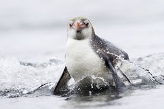 Kommande kunglig pingvin (Eudyptesschlegeli) ut vattnet Arkivbild