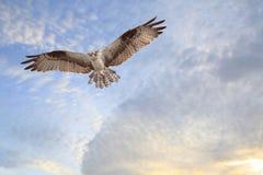 kommande landningfiskgjuse Royaltyfri Bild