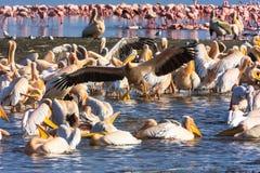 Kommande pelikan in att landa kenya Fotografering för Bildbyråer