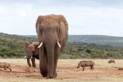 Kommande raksträcka på dig - afrikanBush elefant Fotografering för Bildbyråer