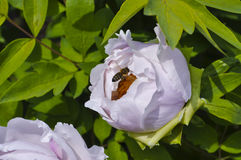 Kommen eine kleine Biene auf der Blumenpfingstrose an stockfotografie