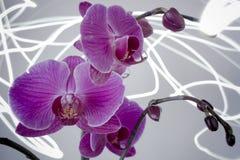 Kommende helle Orchideen-Blüte Stockbild