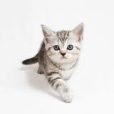 Kommendes Kätzchen stockfoto