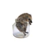 Kommer den lösa igelkotten för skogen ut ur en isolerad glass krus Royaltyfri Foto