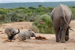 Kommna ungar - familj för afrikanBush elefant Arkivbilder