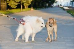 Kommunikation von zwei Hunden am Abendweg um die Stadt Lizenzfreie Stockfotos