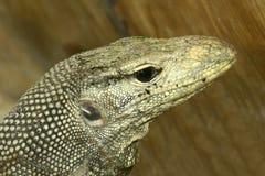 komodo蜥蜴监控程序 免版税库存照片
