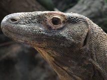 komodo蜥蜴监控程序 库存图片