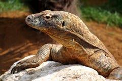 komodo蜥蜴 库存图片