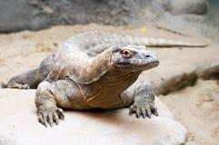komodo дракона Стоковое Фото