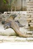 komodo Индонесии драконов Стоковые Фото