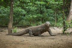 Komodo дракон Стоковые Изображения RF