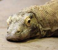 komodo дракона Стоковая Фотография RF