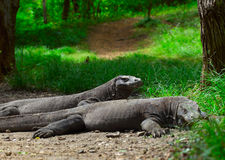 Komodo. Dragons lying near green grass and looking to somwhere. Rinca island. National park royalty free stock images