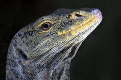 Komodo Stock Images