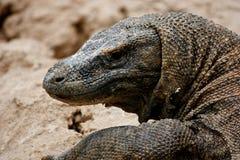 Komodo Stock Photo