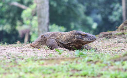 Komodo. A dangerous animal from komodo island Indonesia Stock Photography