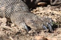 Komodo Стоковое Изображение RF