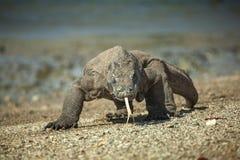 Komodo de Draak Royalty-vrije Stock Foto's