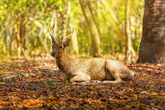 Komodo Deer Royalty Free Stock Images