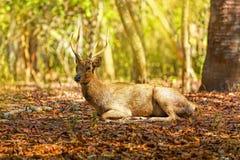 Komodo Deer. A deer lying in the wilderness of Komodo national park royalty free stock images