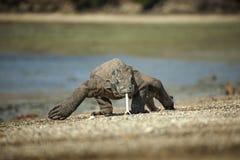 Komodo der Drache Stockfoto