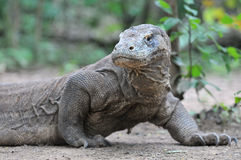 Komodo Discovery Royalty Free Stock Photography