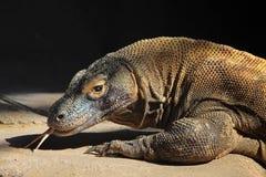 Komodo Drache Stockfoto
