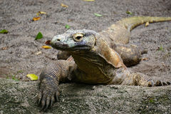 Komodo Drache Lizenzfreies Stockfoto