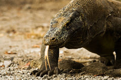 Komodo Drache gabelte Zunge-Abschluss Lizenzfreie Stockfotografie