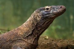 Komodo Drache-Hintergrundunschärfe Stockfotos