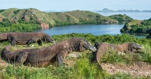 Komodo Drache im natürlichen Lebensraum lizenzfreies stockbild