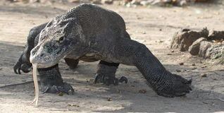 Komodo Drachejagd stockfotos