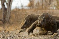 Komodo Drachen laufen gelassen für Nahrung Lizenzfreie Stockfotos