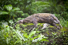 Komodo Dragon -1 Royalty Free Stock Photos