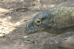 Komodo dragon. Side head of a komodo dragon stock photo