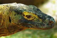 Komodo Dragon stock images