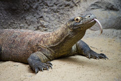 Komodo Dragon. With lolling tongue stock photography