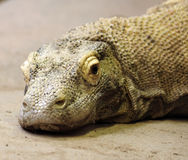 Komodo Dragon. A Komodo Dragon, the world's largest lizard Royalty Free Stock Photography