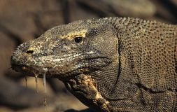Komodo dragon. The biggest lizard species alive on our planet is the massive Komodo dragon. A mouth filled with millions of killergerms this is the ultimate Stock Images